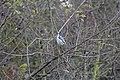 20141102 001 Kessel Weerdbeemden Pimpelmees (15075072093).jpg
