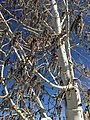 2015-03-27 15 47 10 Quaking Aspen catkins at Great Basin College in Elko, Nevada.JPG