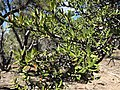 2015-04-28 14 03 04 Mountain Mahogany foliage on the south wall of Maverick Canyon, Nevada.jpg
