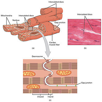 Cardiac physiology - Details of intercalated discs
