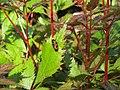 2018-05-13 (157) Cercopis vulnerata (froghopper) on plant at Bichlhäusl in Frankenfels, Austria.jpg