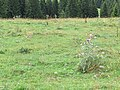 2018-08-11 (138) Alpine meadow with Silybum marianum (blessed milkthistle) at Tirolerkogel, Annaberg, Austria.jpg