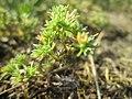 20180614Scleranthus annuus3.jpg
