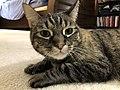 2020-04-24 16 46 57 A tabby cat lying on a carpeted floor in the Franklin Farm section of Oak Hill, Fairfax County, Virginia.jpg