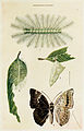 34-Indian-Insect-Life - Harold Maxwell-Lefroy - Euthalia-garuda.jpg