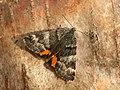 70.204 BF1662 Light Orange Underwing, Archiearis notha, female (6878467316).jpg
