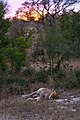 8906 S Africa lion JF.jpg