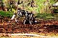 AFRICAN WILD DOG (14029770806).jpg