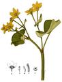 AMP-Plate 007-pg 0051-Caltha palustris.png