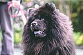 A Chow Chow called Ling Chao (40742896423).jpg