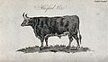 A Hereford ox. Stipple engraving by Neele. Wellcome V0021703.jpg