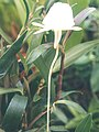 A and B Larsen orchids - Angraecum scottianum 629-12x.jpg