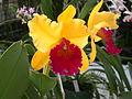 A and B Larsen orchids - Brassolaeliocattleya Alma Kee Tipmalee DSCN4493.JPG