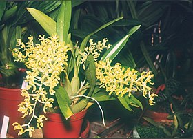 HOA GIEO TỨ TUYỆT 2 - Page 7 280px-A_and_B_Larsen_orchids_-_Gomesa_crispa_528-20