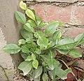 A citrus plant.jpg