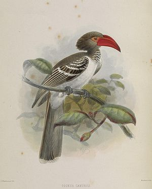 Red-billed dwarf hornbill - Image: A monograph of the Bucerotidæ, or family of the hornbills (Plate LIX) (6944171846)