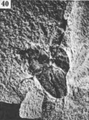 A monograph of the terrestrial Palaeozoic Arachnida of North America photos 36-40 40.png