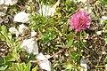 A mountain clover (Grubigstein) (24599806755).jpg