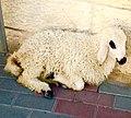 A posing lamb.jpg