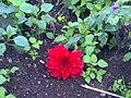 A scene of botanical garden Ooty8.jpg