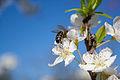 Abeja tras la flor del ciruelo (16183662954).jpg