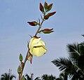 Abelmoschus manihot ssp tetraphyllus W IMG 2157.jpg
