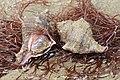 Abgestumpfte Stachelschnecke Hexaplex trunculus.jpg