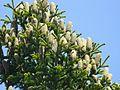 Abies cilicica cones.jpg