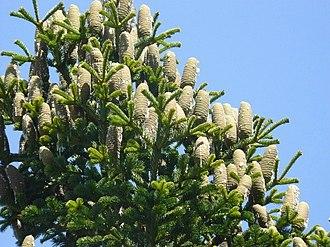Abies cilicica - Image: Abies cilicica cones