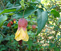 Abutilon megapotamicum, the Trailing Abutilon (9780326265).jpg