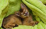 Abyssinian cat (8435140773).jpg