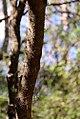Acacia-oviedoensis-(3).jpg