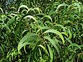 Acacia koa (5187357067).jpg