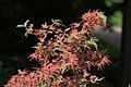 Acer palmatum 'Kagiri-nishiki' sunlit branch.jpg