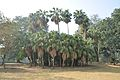 Acharya Jagadish Chandra Bose Indian Botanic Garden - Howrah 2011-01-08 9731.JPG