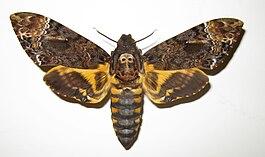 бражники бабочки фото