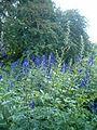 Aconitum carmichaelii BotGardBln07122011B.JPG