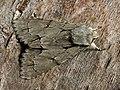 Acronicta tridens - Dark dagger - Стрельчатка трезубец (41053784461).jpg