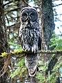 Adult Grey Owl on Branch, Wallowa-Whitman National Forest (25432331493).jpg