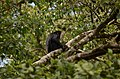 Adult lion-tailed macaque looking at the electrocuted infant in Valparai DSC 2576.jpg