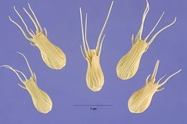Aegilops ventricosa seeds.jpg