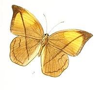 AemonaAmathusia164 1b.jpg