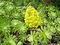 Aeonium manriqueorum - flowers.jpg
