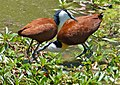 African Jacanas (Actophilornis africanus) before mating, female on right (11464954303).jpg