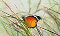 African Monarch (Danaus chrysippus) (6022202120).jpg