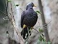 African Olive Pigeon RWD4.jpg
