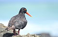 African Oystercatcher or African Black Oystercatcher, Haematopus moquini (13171492964).jpg