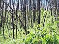 After fire regrowth Bad Land Cliffs, Jun 2014 01.jpg