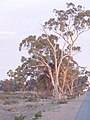 Afternoon Light on Gums - panoramio.jpg