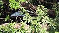 Agami Heron (Agamia agami) (7222559082).jpg